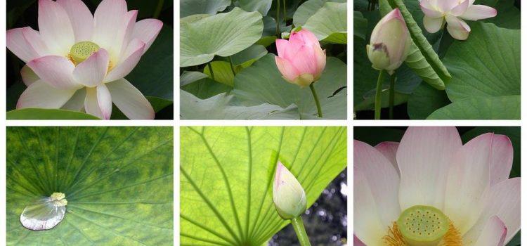 Il Fiore di Loto – il simbolo per il praticante